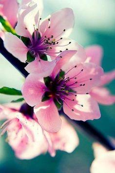 Flor de cerezo...