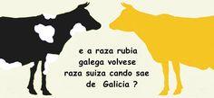 vaca galega