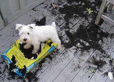 Westie messThis west highland terrier dog demonstrates the infamous terrier digging habit quite impressively.