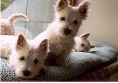 Sin título, via Flickr. Westie pups