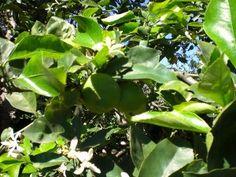 Azahares del limonero de cuatro estaciones