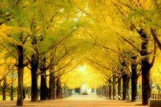 熊本県庁銀杏並木。 2012/11/29