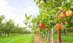 Vous avez entendu dire que les arbres fruitiers se plantent à l'automne, mais votre beau-frère vous dit que c'est au printemps? Alors est-ce à l'automne ou au printemps?