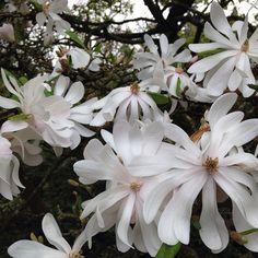 Magnolia Stellata #flowers #flores