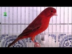 THE BEST CANARY SINGING Video ( for training ) - YouTube