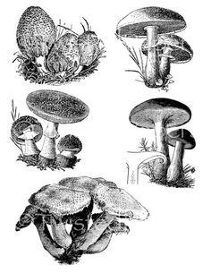 Vintage Digital Victorian Nature Illustrations, Mushrooms, Toad Stools, Collage Sheet TV0633