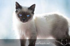 Meet Greluchet on yummypets.com #siamese #cat