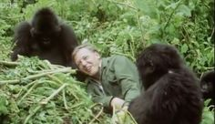 The BBC will celebrate the life and work of naturalist Sir David Attenborough as he turns 90 on May 2016 with programming that will air from May 7 to Natural World, Natural History, Animals And Pets, Baby Animals, Animals Planet, Richard Attenborough, Mountain Gorilla, Earth News, Natural Curiosities