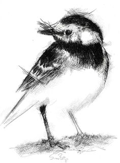 Wagtail, Artist Sean Briggs producing a sketch a day, prints available at https://www.etsy.com/uk/shop/SketchyLife  ##artist ##illustration#ink#print#draw #art #drawing #pied #sketch #wagtail