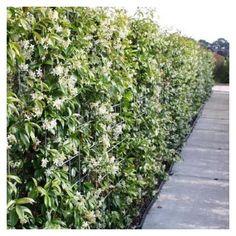 Star Jasmine screen on steel mesh Clematis, Evergreen Climbing Plants, Plant Companies, Trachelospermum Jasminoides, Jasmine Star, Home Garden Design, Buxus, Garden Styles, Hedges