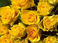 love, love, love yellow roses