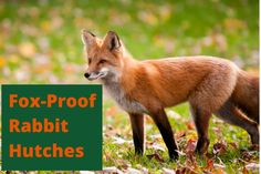 Colors of foxes vary depending on the type of fox and the time of year. Some foxes change colors with the seasons, others have different color morphs. Rabbit Hutch And Run, Rabbit Hutches, Pink Champagne Fox, Fox Facts, Fox Information, Bat Eared Fox, Grey Fox, Graphic Design Software, Arctic Fox