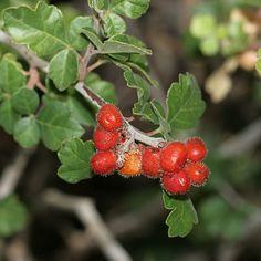 Rhus trilobata - Skunkbush Sumac, Skunk Bush, Lemonade Berry (berries). The red-orange ripe fruits are edible and can be soaked in water to make a refreshing, lemonade-like drink.
