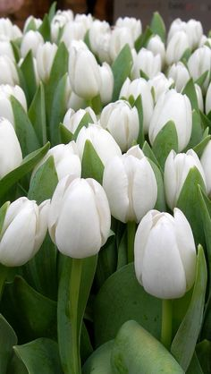 655 best white tulips images on pinterest in 2018 computer white flowers land of tulips wallpaper hq backgrounds mightylinksfo