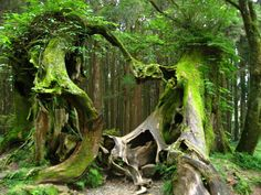 Lover's Trees - Alishan Forest in Taiwan  Photo by Dubberish.