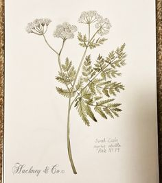 ©Hackney & Co Day 79 #sweetcicely #scottish #wildherb #botanicalillustration #watercolour #ink #herbs #botanica #100daysofillustration #hackneyandco100days