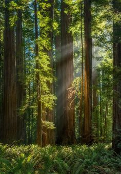 Pacific Redwoods, California by Dustin Wong on Beautiful Forest, Beautiful World, Beautiful Places, Beautiful Mind, Gaia, Prado, Redwood Forest, Forest Floor, Forest Landscape