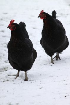 Chickens in the snow by Hazel Terry, via Flickr