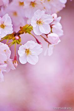 Sakura Blossoms/ Japan