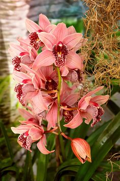 $37 Mike Savad - This orchid is a Cymbidium - Vivien hainsworth x trinket - A lovely pink flower with a female name. To be honest I could go on and on about this flower, but they honestly all look the same to me. #savad #orchid #flower #cymbidium