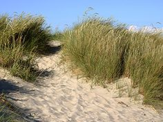 What secret place could this lead to on Winlock Harbor? Beach Groom, Oregon Dunes, Dry Sand, California Native Plants, Sea Level Rise, Manzanita, How To Grow Taller, Secret Places, The Dunes