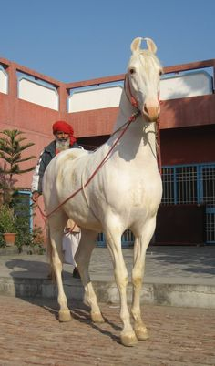 Marwari (India's War Horse) a rare breed kept out of extinction by a peoples pride.