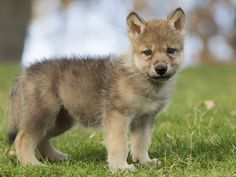 Urge Governors to Protect Wolves from Brutal Deaths & Extinction!