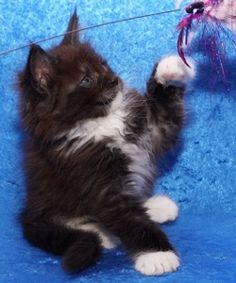 Our new baby Perfect Gem - Maine Delite Cattery