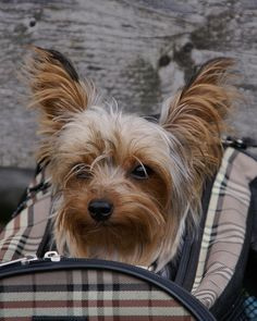 Yorkie in burberry carrier