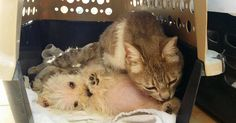 After being attacked by dogs, a 2-year-old cat named Gertrude adopted a puppy named Clementine.