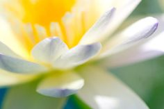 Waterlily Dreams 9 Photograph by Priya Ghose - Waterlily Dreams 9 Fine Art Prints and Posters for Sale - Blue-tipped tropical waterlily petals emerge, beautifully dreamy in their softness. #photography #lotus #flowers