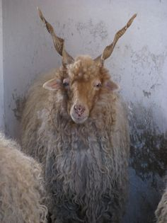 Originating in Hungary, the Racka has existed since at least when the first registry was established. It is a hardy, multi-purpose breed used for milking, wool and meat. Budapest, Farm Animals, Cute Animals, Animals With Horns, Musk Ox, Sheep Breeds, Sheep And Lamb, Tier Fotos, Funny Animal Pictures