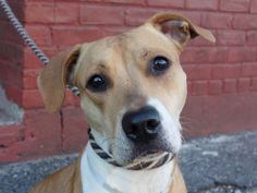 TO BE DESTROYED 1/21/14 Manhattan Center -P  My name is ZOE. My Animal ID # is A0988871. I am a female tan and white pit bull mix. The shelter thinks I am about 1 YEAR  *** RETURNED ON 1/18/14 ***  I came in the shelter as a RETURN on 01/18/2014 from OUT OF NYC, owner surrender reason stated was PERS PROB. I came in with Group/Litter #K14-164788. https://www.facebook.com/photo.php?fbid=739110282768520&set=a.611290788883804.1073741851.152876678058553&type=3&theater