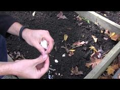 How to Grow Garlic In Spring or Fall - Complete Growing Guide Grow Organic, Organic Seeds, Organic Gardening, Gardening Tips, Kitchen Gardening, Growing Mushrooms, Plant Diseases, Veg Garden, Container House Design