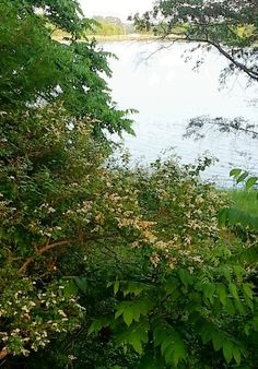 Blooming privets and honeysuckles