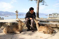 Tame deer on Miyajima Island
