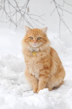 Tabby Cats Orange Orange cat sitting in the snow Orange Tabby Cats, Red Cat, Pretty Cats, Beautiful Cats, Gato Grande, Matou, Norwegian Forest Cat, Tier Fotos, Ginger Cats