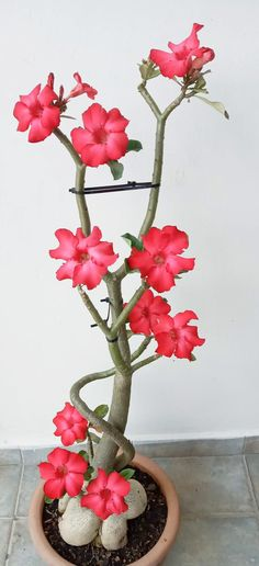 Red Maple Bonsai, Penthouse Garden, Raised Gardens, Desert Rose, Flower Power, Gardening, Kitchen, Desert Flowers, Vegetable Garden