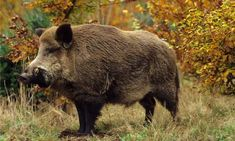 Hundreds of wild boars face cull in Forest of Dean Wild Boar Hunting, Hog Hunting, Feral Pig, Beast Creature, Forest Of Dean, Pig Farming, British Wildlife, Animals Of The World, Animal Paintings