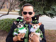Happy Saint Patrick's Day!   Chihuahuas dressed as Leprechauns by Anthony Rubio. My dogs Bogie and Kimba summon the luck of O' Irish in their Leprechaun outfits. My Chihuahuas Bogie and Kimba in their Leprechaun outfits designed by Anthony Rubio.  www.AnthonyRubioDesigns.com   #StPatricksDay #LuckOfTheIrish #NYC #StPaddys #IrishParade #StPatricksParade #CuteDogs