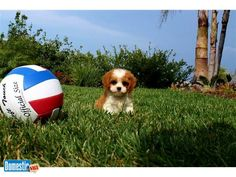 CavaPoo Puppy for Sale in San Diego - So Cute! - $995 - San Diego, California