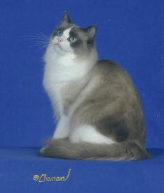 Blue Bicolor Male