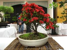 Potted Pohutukawa tree - my next Christmas tree :-) Bonsai Plants, Bonsai Trees, Winter Christmas, Christmas Tree, River Pebbles, Gardening Tips, Indoor Gardening, Beach Themes, Garden Projects