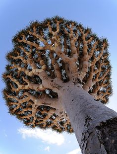 "Dragon's Blood tree    ""Dracaena cinnabari""    The crown of the tree sees multiple branches parting, but after that each branch divides along binary lines, though the frequency of this division is governed by some rule that ensures there is enough surface area for all branches to get sunlight."