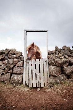 Icelandic horse & gate...
