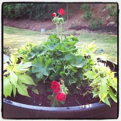 Check out the whiskey barrel planter our Garden Club Editor Michael Nolan did this weekend. Red Geraniums add color and visual interest (Thriller), edible herbs fill out the center (Filler), and sweet potato vine will drape over the sides (Spiller). Who says you can't have your planter and eat it too?