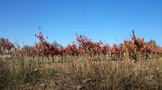 Junto a las viñas