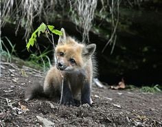 EXPLORE: May This little fox pup was nibbling on the small tree as he was trying to figure me out. Animals Beautiful, Cute Animals, Fox Pups, Figure Me Out, Go Usa, Little Fox, Wild Dogs, My Spirit Animal, Cute Images