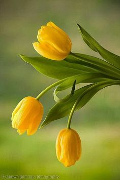 Graceful Bright Yellow Tulips, sure to brighten the day of all who pass by. So pretty in gardens! - EHH ;)