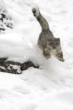 "beautiful-wildlife: "" Leaping Snow Leopard by Jeannette Katzir """